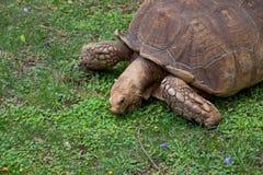 Giant Galapagos turtle Royalty Free Stock Photos
