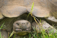 Giant Galapagos turtle, Ecuador, South America Royalty Free Stock Images