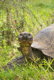 Giant Galapagos turtle, Ecuador, South America Royalty Free Stock Photography