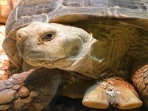 Giant Galapagos turtle Geochelone nigra close-up. Protection of endangered species of reptiles.  Stock Image