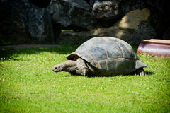 A giant Galapagos turtle Stock Photography