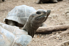 Giant Galapagos turtles Stock Photos