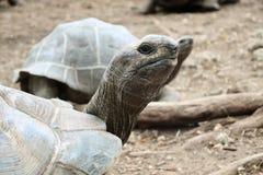 Giant Galapagos turtles stock photos