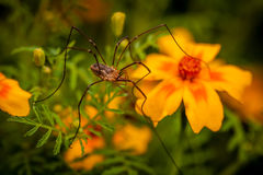 Giant garden spider Stock Image