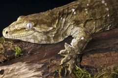 Giant Gecko Stock Image