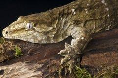 Giant Gecko Stock Image
