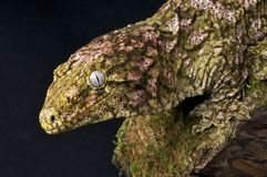 Giant Gecko Royalty Free Stock Photography