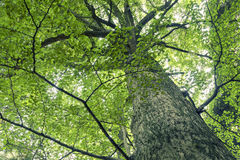 Giant ginkgo tree Stock Images