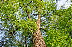 Giant ginkgo. Tree on sky in spring Stock Photography
