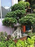 Giant Ginseng Ficus Bonsai Plant Stock Image