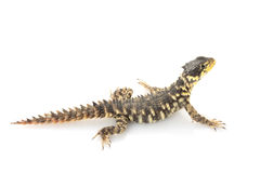 Giant Girdled Lizard Stock Image