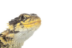 Giant Girdled Lizard Royalty Free Stock Photos