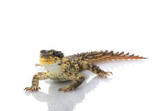 Giant Girdled Lizard Stock Photo