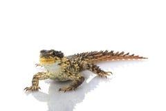 Free Giant Girdled Lizard Stock Photo - 10031960