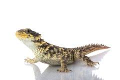 Free Giant Girdled Lizard Royalty Free Stock Photo - 10031965