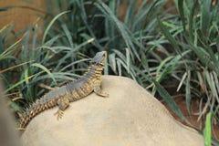Giant girdled lizard Stock Photos