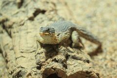 Giant girdled lizard Royalty Free Stock Photography