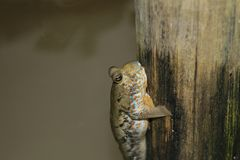 The giant goby is swimming on a bamboo stick. The goby is grayish brown, lying on the bamboo. The water is lapping Stock Photos