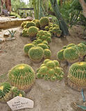 Giant golden barrel cactus. Group of giant golden barrel cacti on the hill stock images