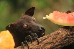 Giant golden-crowned flying fox eating. A giant golden-crowned flying fox eating a watermelon as a snack at the Singapore Zoo royalty free stock photography