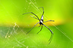 Giant Golden Orb Weaver Spider Royalty Free Stock Photography