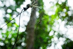Giant golden orb web spider Nephila pilipes. Siting on the web. Beautiful green bokeh background. South Cambodia. Koh Rong Sanloem Stock Image
