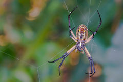Giant Golden Silk Orb Weaver Spider Stock Image
