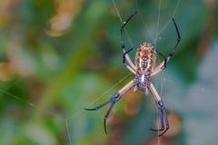 Giant Golden Silk Orb Weaver Spider. Weaving a web Stock Image