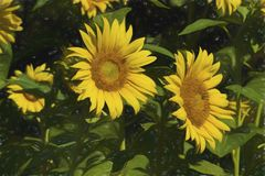 Giant Golden Sunflower Blossoms. Beautiful giant golden yellow sunflowers, and annual flower grown for the seeds royalty free stock image