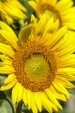 Giant Golden Sunflower Blossoms. Beautiful giant golden yellow sunflowers, and annual flower grown for the seeds stock photo