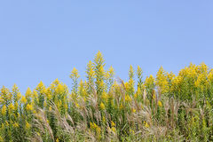 Giant goldenrod field Royalty Free Stock Images
