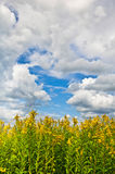 The giant goldenrod field with clouds in the sky Stock Images