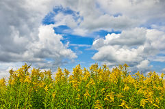 The giant goldenrod field with clouds in the sky Royalty Free Stock Images