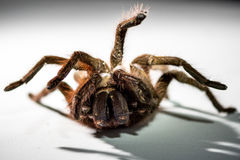 Giant Goliath Birdeater Tarantula Royalty Free Stock Photography