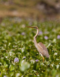 The giant: Goliath Heron Royalty Free Stock Image