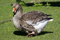 Giant Goose. A brown giant goose standing in green grass royalty free stock photography