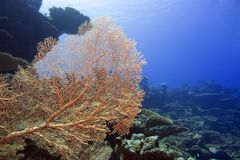 Giant Gorgonian coral. Underwater landscape with Giant Gorgonian Sea-fan (Subergorgia mollis royalty free stock image