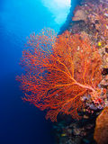 Giant gorgonian coral Stock Image