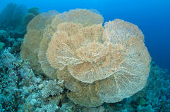 Giant Gorgonian fan coral, (Anella mollis) Stock Photo