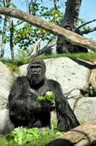 Giant gorilla having lunch at San Diego zoo Stock Images