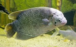 Giant Gourami 1 Royalty Free Stock Photos
