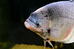 Giant Gourami Royalty Free Stock Photo