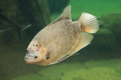 Giant Gourami Stock Images