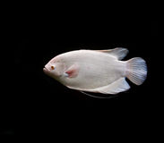 Giant Gourami Albino fish, Royalty Free Stock Images