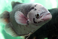 Giant gourami Stock Image