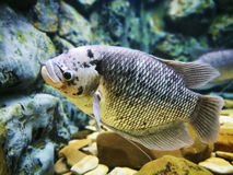 The giant gourami fish in a fish tank Stock Image