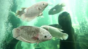 Giant gourami fish stock video footage