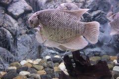 Giant Gourami Fish Royalty Free Stock Photos