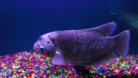 Giant gourami fish, underwater background Stock Photography