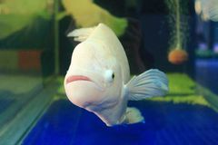 Giant gourami Stock Photography